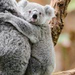 ペットとしての飼育が禁止されているコアラに値段は付けられない
