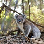コアラは個人で飼育できるのか?