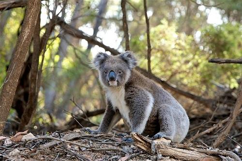 コアラ 飼育 個人