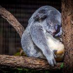 コアラはユーカリで酩酊する?