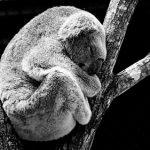 コアラを抱っこできる国は?