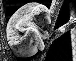 コアラ 抱っこ 国