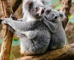 コアラ 袋 下向き