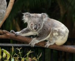 コアラ やめて こないで