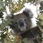 オーストラリアにおけるコアラの歴史