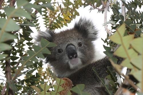 オーストラリア コアラ 歴史