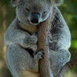 コアラが激減した理由は?