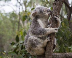 コアラ 抱っこ 注意