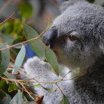 コアラはなぜユーカリの毒素に影響されないのか?