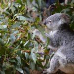 コアラは1日にユーカリをどれくらいの量、消化するのか?