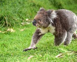 コアラ 走る 速度