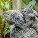 コアラ赤ちゃんの大きさはどれくらい?