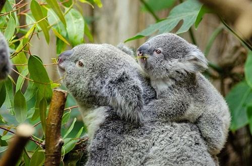 コアラ 赤ちゃん 大きさ