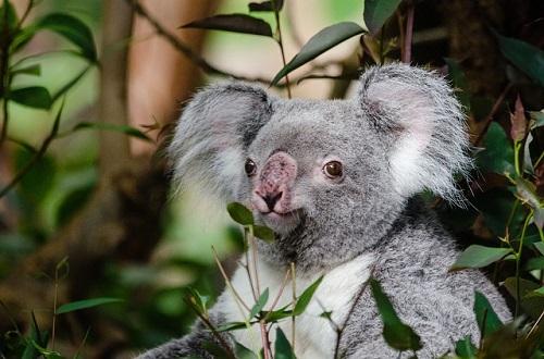 コアラ 盲腸 長さ