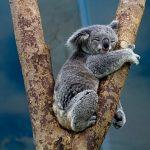 コアラの袋はどんな臭い?