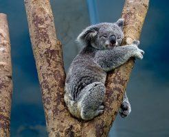 コアラ 袋 お腹