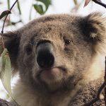 コアラの鼻はなぜあんなにも大きいのか