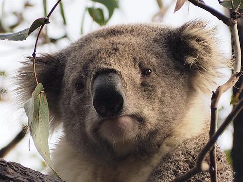 風情のあるコアラ
