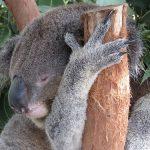 コアラの睡眠時間の長さの理由、なぜ木から落ちないのか