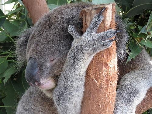 コアラ 睡眠時間 理由 木 落ちる
