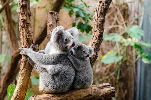 コアラ 赤ちゃん 食べ物