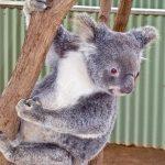 「やめて!」と聞こえるコアラの鳴き声