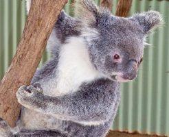 コアラ 鳴き声 やめて