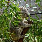 コアラはユーカリ以外食べないのか