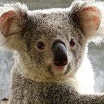 コアラの目までもが怖いという情報が流れている事について