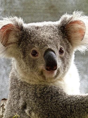 コアラ 目 怖い