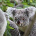 実はコアラのメスは叫び声を上げる