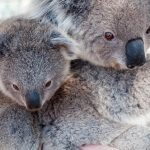 コアラが絶滅危惧種の道を辿ってきた原因