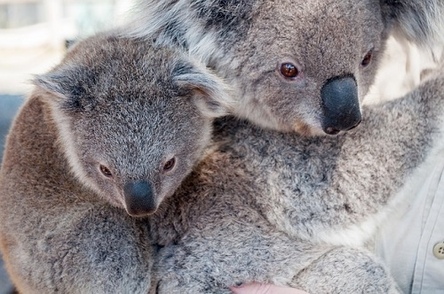 コアラ 絶滅危惧種 原因