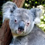 動物占いのコアラとペガサスの相性はいい?悪い?