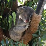 コアラはなぜ木から落ちないのか