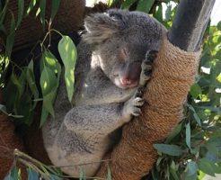 コアラ 木 落ちる