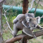 コアラは母親の糞を食べて育つ!?
