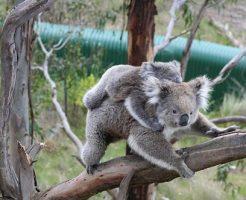 コアラ 母親 糞