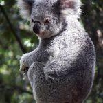 コアラはユーカリの葉をバクテリアで分解している!?