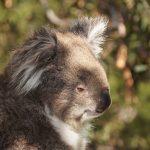 オーストラリアではコアラを食べるという噂を知って