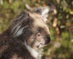 コアラ オーストラリア 食べる