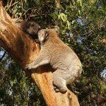 コアラのメスの鳴き声ってどんな声?