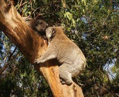 コアラ メス 鳴き声