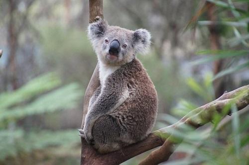 コアラ 年齢 人間