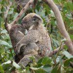 コアラは水を飲むのか、キスのような行動の意味とは。