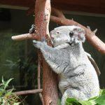 コアラとカンガルーの違い