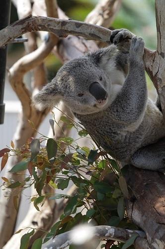 コアラ 餌 毒