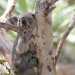 野性のコアラが泳ぐ様子を見て