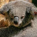 猿とコアラは相性悪い?動物占いで見る相性診断