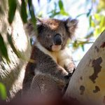 コアラが木に住む理由は?